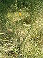 Tragopogon pratensis plant1.jpg