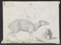 Tragulus napu - 1838 - Print - Iconographia Zoologica - Special Collections University of Amsterdam - UBA01 IZ21500190.tif