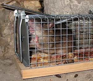 Rat trapped in a live-catch cage rat trap