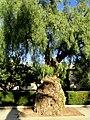 Tree (San José State University) - DSC03930.JPG
