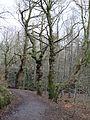 Tree Burrs, Kirktonhall Glen.JPG