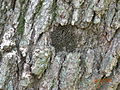 Tree bark lice.JPG