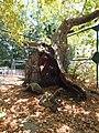 Tree of Hippocrates 02.JPG