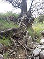 Tree with beautiful roots, Ziarat Balochistan.jpg