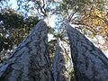 Tres Pinasses, Parc natural de Sant Llorenç del Munt i l'Obac (desembre 2011) - panoramio.jpg