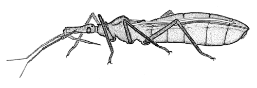 Triatoma assassin-bug.png