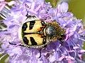 Trichius fasciatus - Succisa pratensis - Keila.jpg