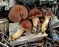 Tricholomopsis formosa 337731.jpg