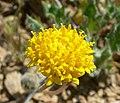Trichoptilium incisum flower.jpg