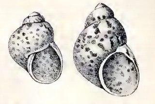 <i>Tricolia petiti</i> Species of gastropod