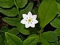 Trientalis europaea (plumbum).jpg