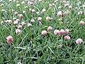 Trifolium fragiferum (subsp. fragiferum) sl7.jpg