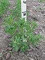 Trigonella foenum-graecum - Гуньба сінна - Рослина.jpg