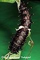 Troides minos caterpillar 2011 06 30 6834 Balakrishnan Valappil (6085987282).jpg