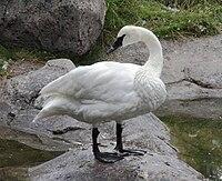 Trumpeter Swan Sasata.jpg