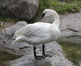 Trumpeter Swan Sasata