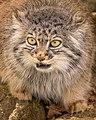 Tula The Pallas Cat (215536683).jpeg