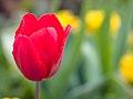 Tulip (9027020083).jpg