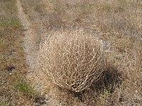 Tumbleweed 038