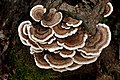 Turkey tail Fungus. (41856600312).jpg