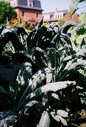 Lacinato kale - Tuscan kale Cavolo nero  grows in a SELROSLT garden.