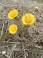 Tussilago-farfara-plant.jpg
