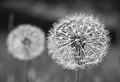 Two Dandelions (14371762543).jpg