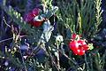 Tyttebær i sol (406029678).jpg