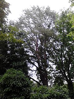 <i>Ulmus</i> Purpurea Elm cultivar