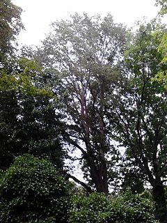 <i>Ulmus</i> Purpurea species of plant