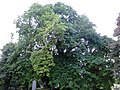 Ulmus glabra (smooth light-green leaved, red-barked), North Merchiston Cemetry, Edinburgh (4).jpg