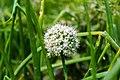 Umbel of onion flowers-Koshi Tappu Wildlife Reserve-Paschim Kasuha 01.JPG