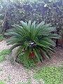 Una palmera enana tras una granizada 20090127 1028.jpg