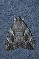 Underwing Moth (Catocala sp.) - Guelph, Ontario 2015-08-13.jpg