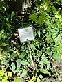 Urena lobata - Guam Zoological, Botanical and Marine Garden - DSC01063.JPG