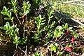 Vaccinium vitis-idaea, Mouthe - img 23035.jpg