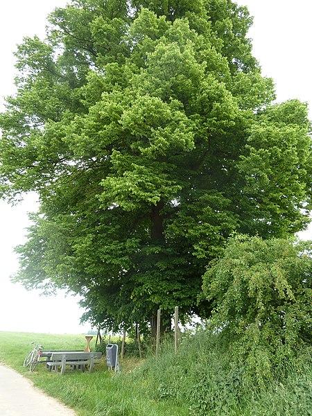Kwartjesboom, Val-Meer, Riemst, België