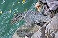 Varanus salvator - Thailand.jpg
