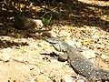 Varanus varius -Airlie Beach, Queensland, Australia -molting-8 (2).jpg