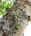 Various lichen on tree.jpg