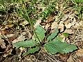 Verbascum phoeniceum sl22.jpg