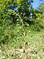 Verbascum phoeniceum sl30.jpg