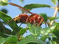 Vespa orientalis (Oriental hornet) , Skala Kalloni, Lesbos, Greece.jpg