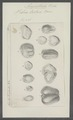 Vibrio tritici - - Print - Iconographia Zoologica - Special Collections University of Amsterdam - UBAINV0274 104 02 0010.tif