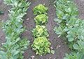 Vicia faba and lettuce.jpg