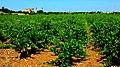 Vigneto a Mazara del Vallo 1 - Flickr - Rino Porrovecchio.jpg