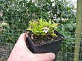 Viola chaerophylloides x eizanensis Kurenal - Flickr - peganum (1).jpg