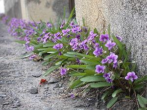 Viola mandshurica - V. mandshurica along a roadside in Tanabe Wakayama, Japan