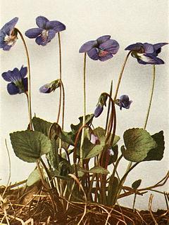 Viola sororia var. sororia WFNY-135A.jpg