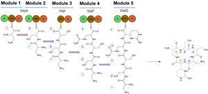Viomycin - Figure 1. Domain Organization of viomycin.